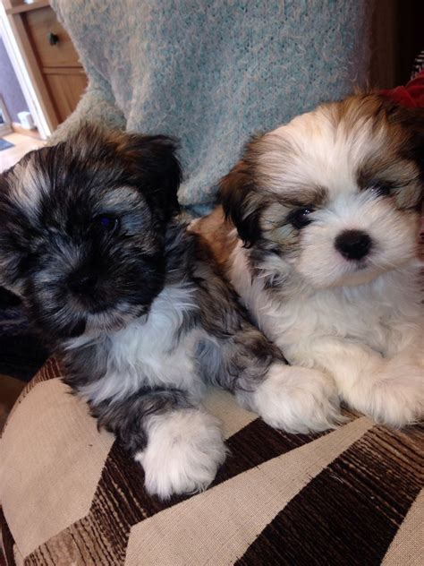 lhasa apso puppies for sale lhasa apso puppies for sale bury greater manchester pets4homes