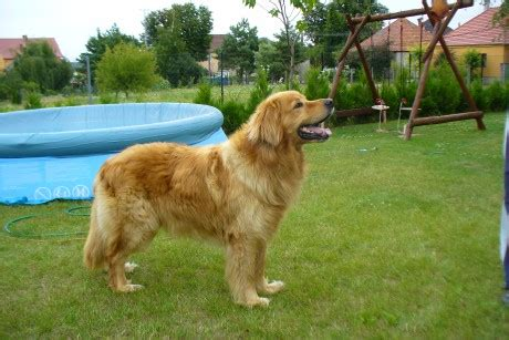 hovawart puppies for sale oscar hovawart puppy for sale puppy