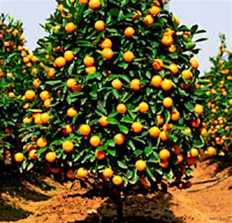 new year oranges with leaves citrus trees my site