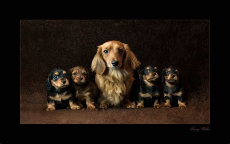 haired miniature dachshund puppies for sale miniature haired daschund puppies for sale breeds picture