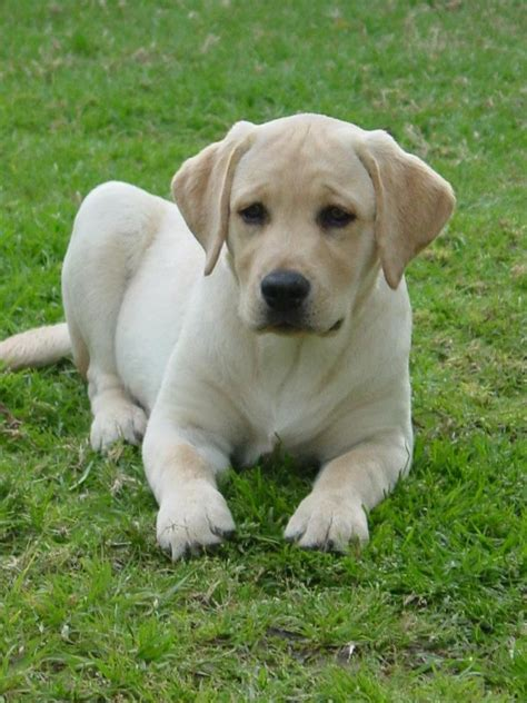 purebred lab puppies best 25 yellow labrador retrievers ideas on yellow labrador puppies labs