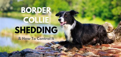 Do Border Collie Shed by Border Collie Shedding