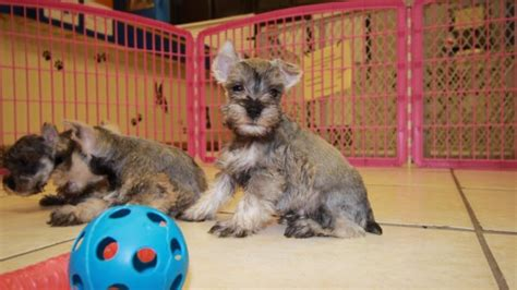schnauzer puppies for sale in ga cuddly salt pepper miniature schnauzer puppies for sale in atlanta at puppies for