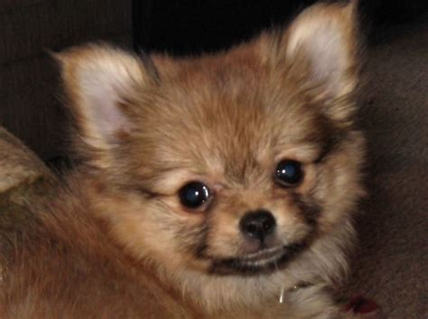 chihuahua mixed with pomeranian chihuahua pomeranian mix www imgkid the image kid has it