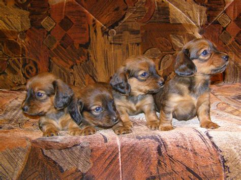 dachshund puppies wi file dachshund puppies jpg