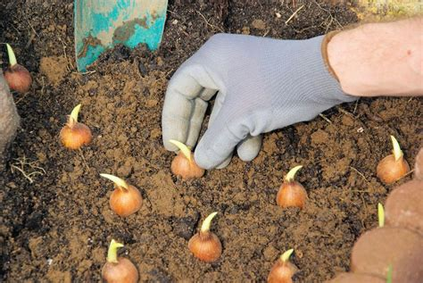 how to plant spring bulbs henry street garden centre