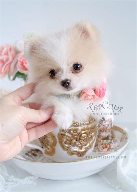 white pomeranian puppies for sale australia best 25 puppies for sale ideas on
