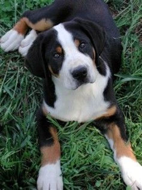 Do Swiss Mountain Dogs Shed by Zss On