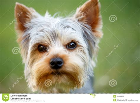 yorkie puppies for sale in nebraska teacup yorkie puppies for sale nebraska design bild