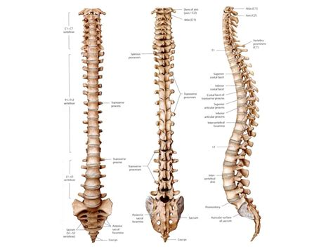 human skeleton spine diagram spine skeleton diagram anatomy organ