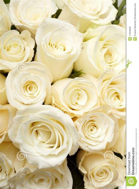 Cream roses stock image. Image of beautiful, blossom