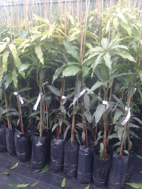 pianta di mango in vaso mango piante in vaso mango innestato vivaio meraviglie