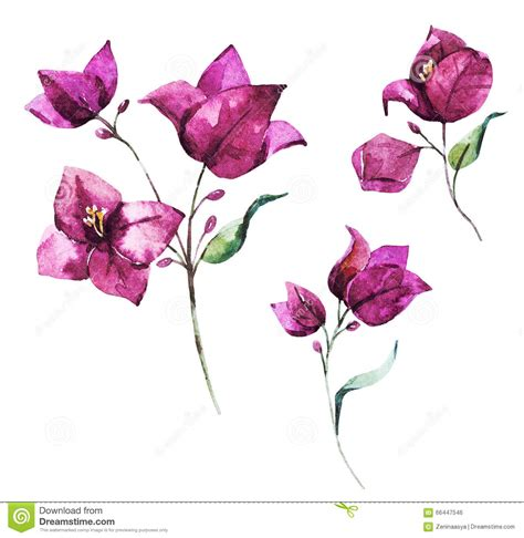 bougainvillea flowers clipart clipground