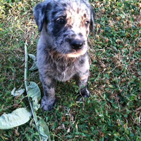 catahoula lab mix puppies for sale catahoula lab mix dogs breeds picture