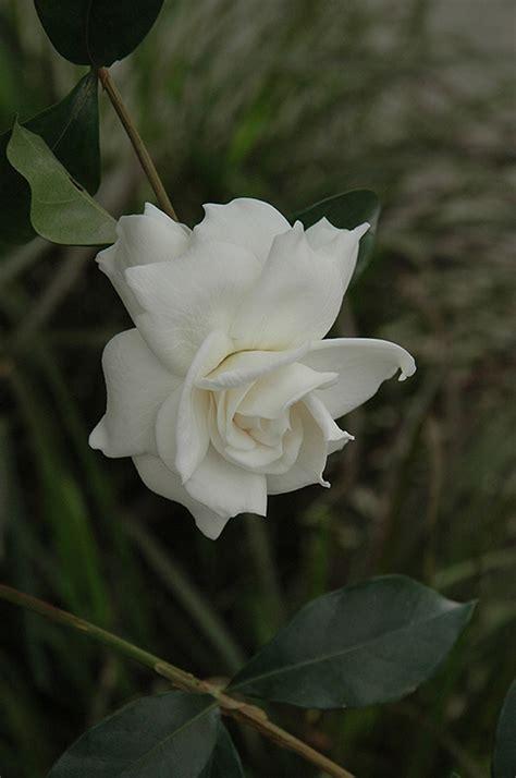 Gardenia Aimee Gardenia Gardenia Jasminoides Aimee In