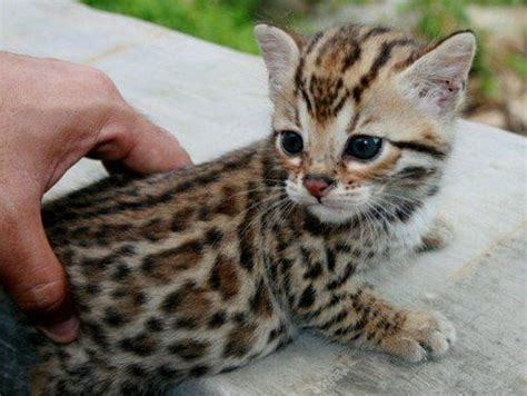 house cats that look like leopards little cat like a leopard animals pinterest