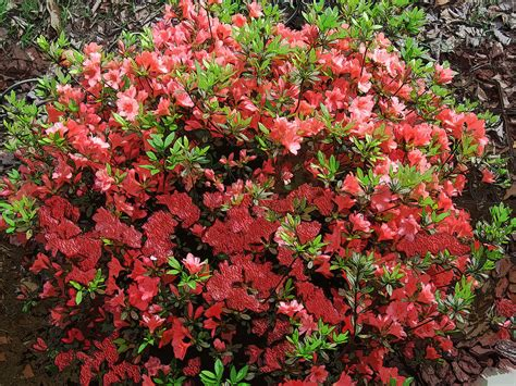 azalea colors azalea colors photograph by michael genova