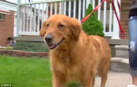 golden retriever saves owner soppy golden retriever who has never snapped in fights intruder despite