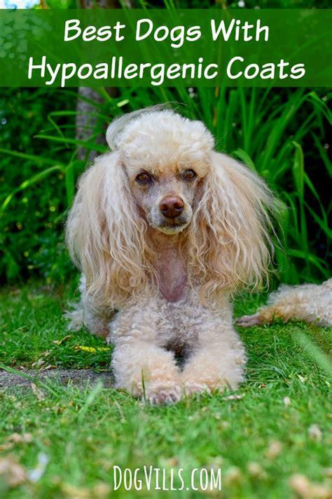 best hypoallergenic dogs best dogs with hypoallergenic coats vills