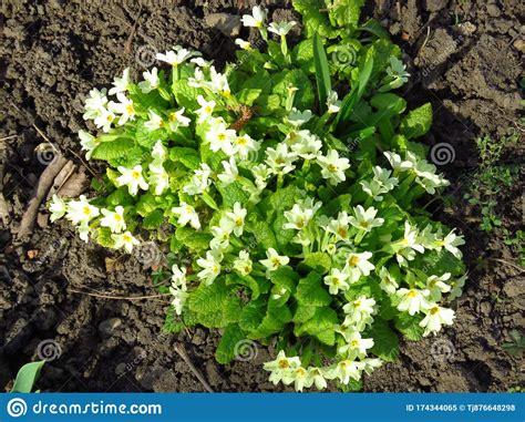 primula white yellow indoor garden plant spring flower