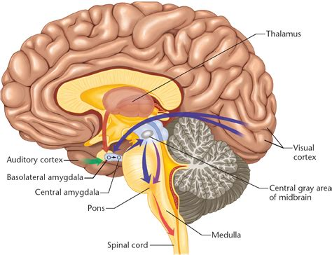 Sections Of The Brain And What They by Diagram Of The Human Brain Parts 5 7 Diagram Of The