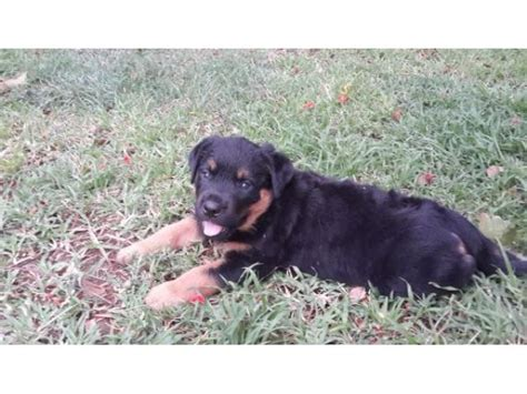 purebred german rottweilers for sale purebred rottweiler www imgkid the image kid has it