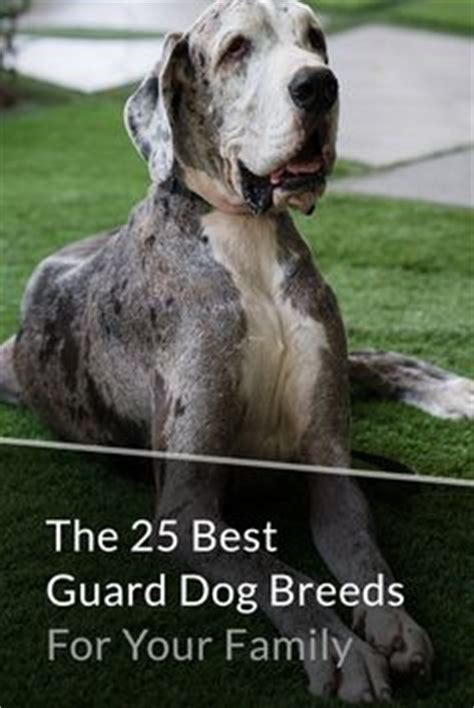 best guard breeds for families with children fila brasilero mastiff makes the list of top 5 guard breeds instant
