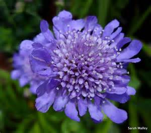 butterfly blue pincushion flower photograph by sarah malley
