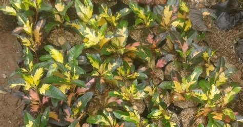 Tanaman Puring Timun jual pohon puring murah jual tanaman puring jual macam