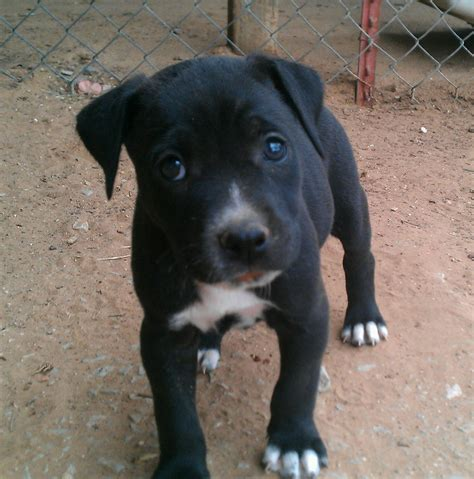 black pitbull puppy black and white pitbull puppy www imgkid the image kid has it