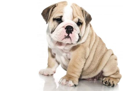 or puppy white background images all white background