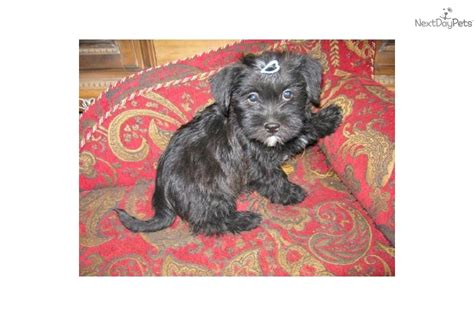 havanese shih tzu mix puppies for sale shih tzu havanese mix puppies for sale pictures to pin on