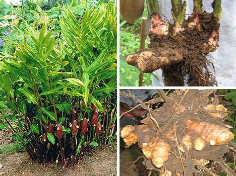 Tanaman Bangle Pot Pohon Bangle Dan Pot big spice world s strongest flavors webecoist