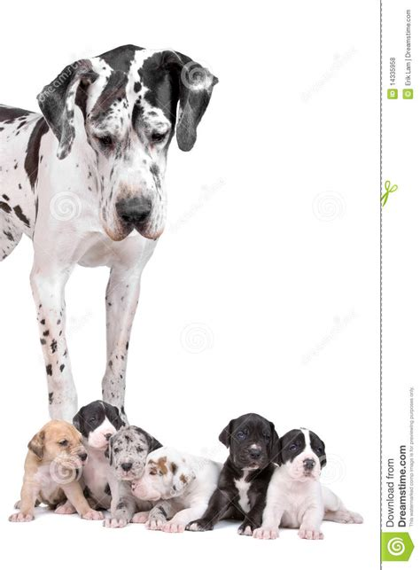 free great dane puppies great dane harlequin with puppies royalty free stock photos image 14335958