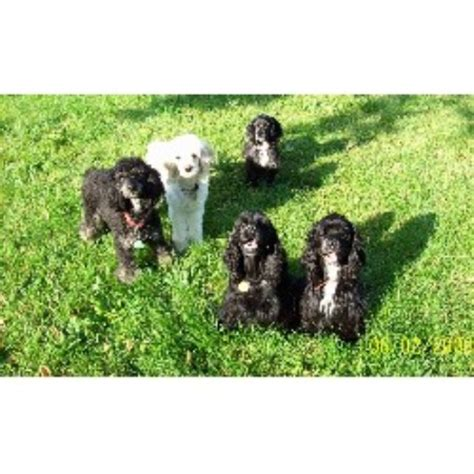 poodle rescue evansville indiana cockapoo breeders in indiana