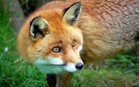 Google Images Fox | fox images google search photography pinterest