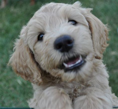 goldendoodle puppy fur 56 best images about goldendoodles on poodles