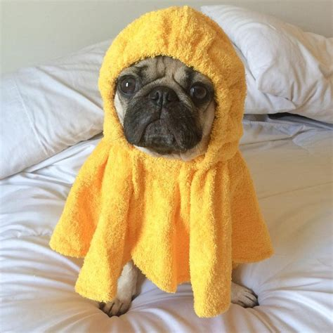 do pugs fall out 17 best images about doug the pug on pugs and the 20s