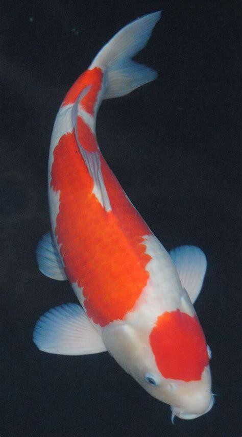 tato di kaki ikan koi 18 jenis ikan hias yang dapat kalian pelihara dirumah