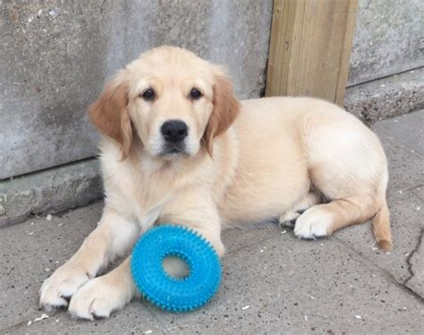 golden retriever puppies for sale in kent pedigree golden retriever puppies for sale sittingbourne kent pets4homes