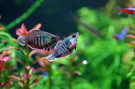 32 best mellis images on 32 best images about aquarium fish on scarlet aquarium fish and brazil