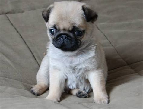 pug puppy names pug names search engine at search