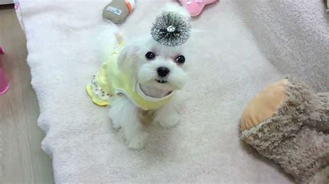 puppies that don t grow for sale micro teacup maltese puppies for sale