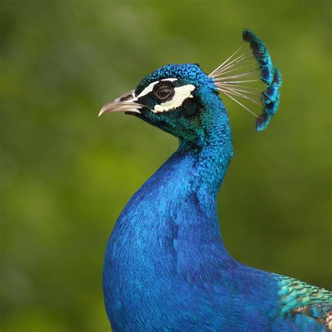 Home Decor Indian Blogs royal peacock photograph by bob and jan shriner