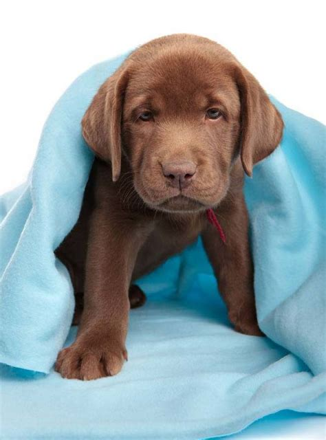 lab puppy names chocolate lab names pictures to pin on pinsdaddy