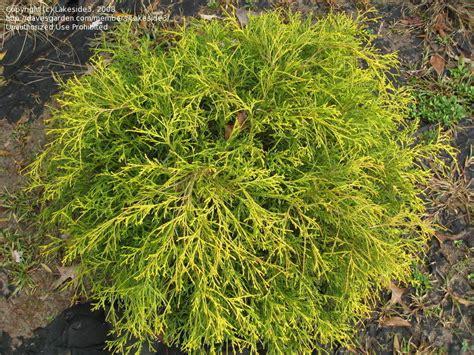 plantfiles pictures sawara false cypress boulevard cypress blue moss cypress lemon thread