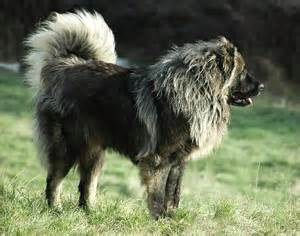 Caucasian ovcharka mountain dog canada s guide to dogs