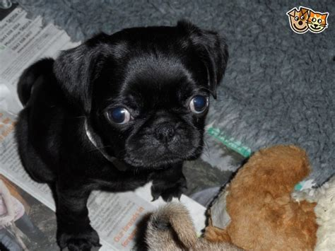 pugs look like 3 4 pug puppies look just like pugs ashford kent pets4homes
