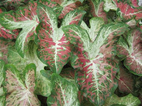 caladium varieties miss smarty plants