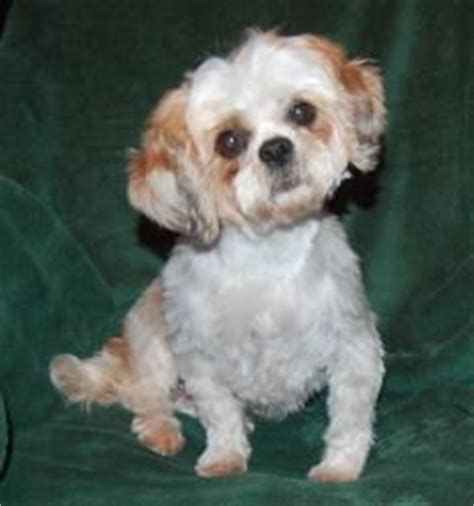 shih tzu teeth cleaning tips on styling dogs on 145 pins